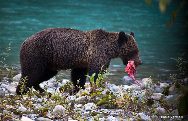 Grizzly bear with food by Kamal Varma ©