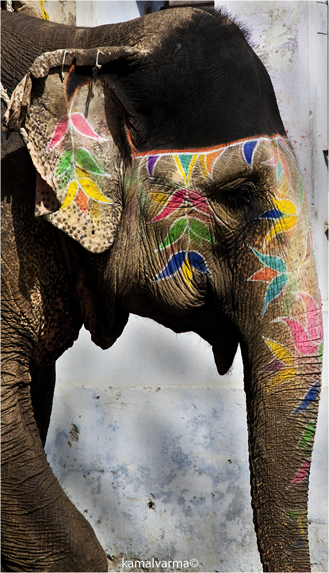 Elephant in Jaipur ©