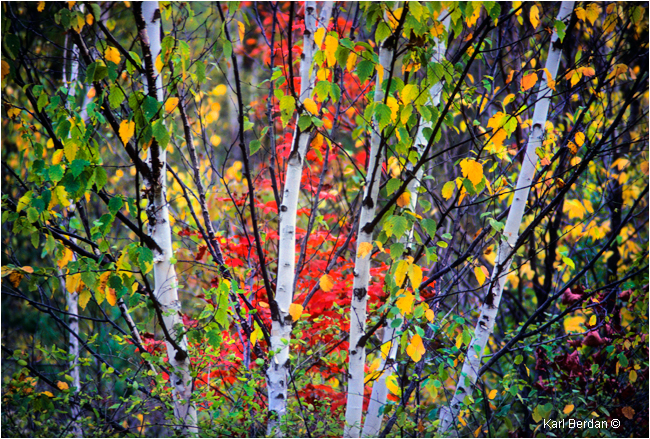 White birch and red Maple leaves by Karl Berdan