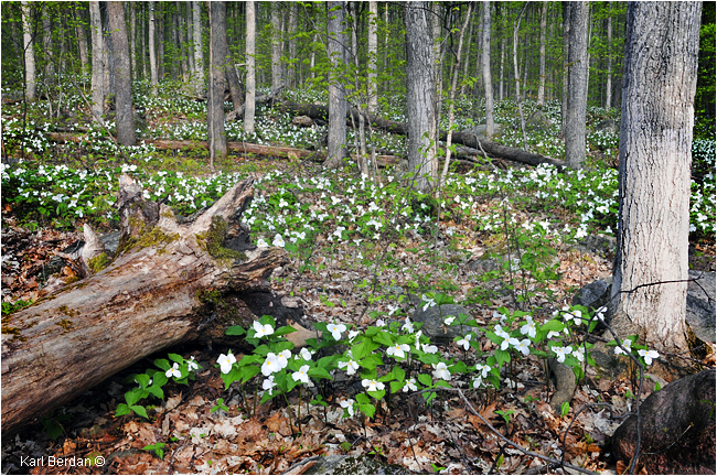 Trilliums in forest by Karl Berdan ©
