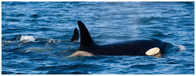 Mother and young Orca by Robert Berdan ©