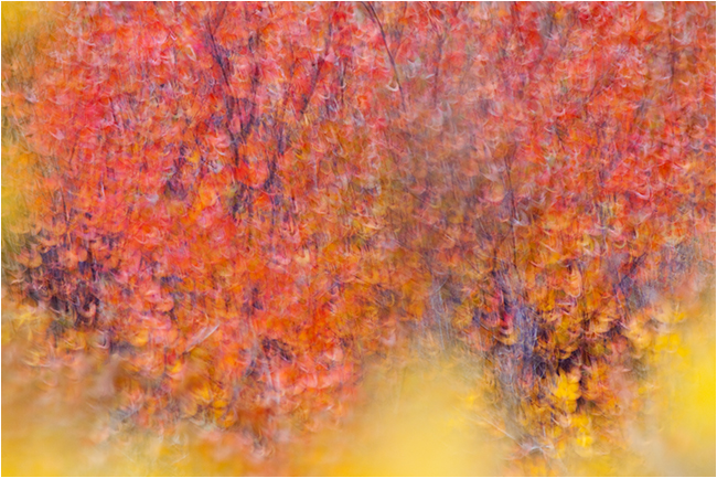 abstract photo of red birch and yellow willow by Robert Berdan ©