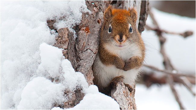 Red squirrel on branch in winter by Robert Berdan ©