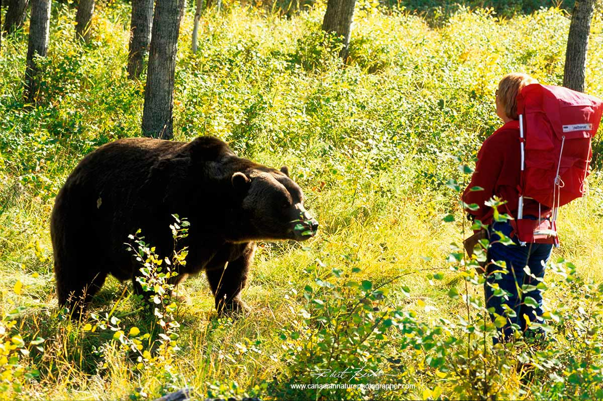 Grizzly bear and hiker by Robert Berdan ©