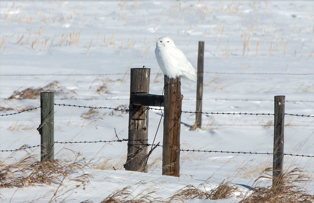 Male snowy owl photographed beside the highway