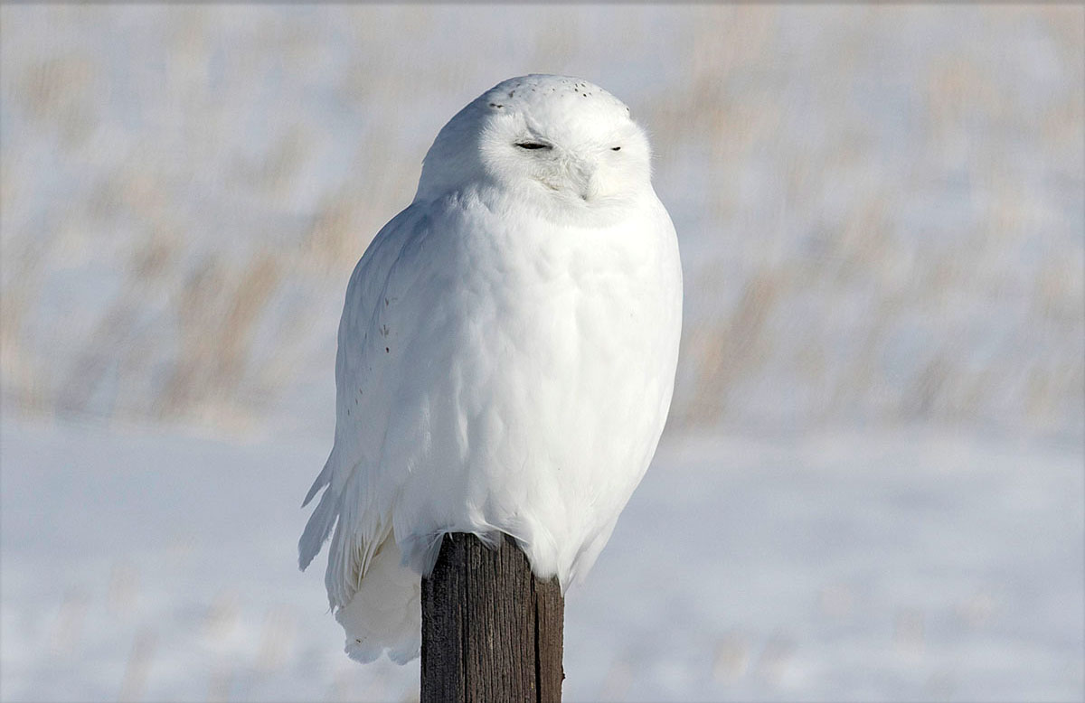 Photographing Snowy Owls By The Lucky Swedes The Canadian Nature
