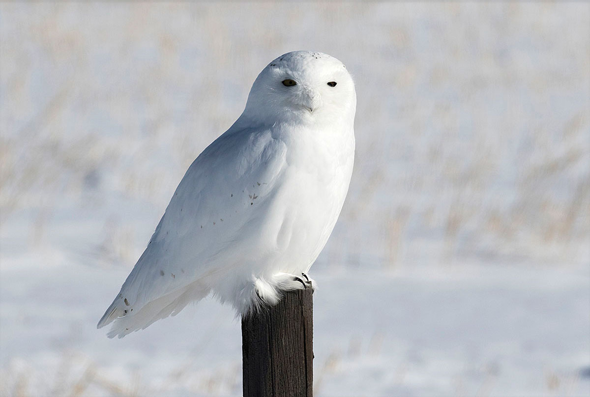 Male snowy owl on fence post