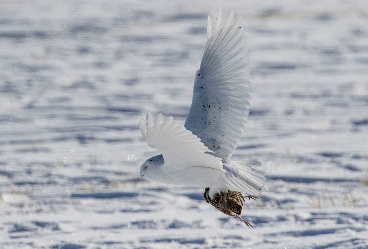 Snowy owl with a Grey Partridge in its claws