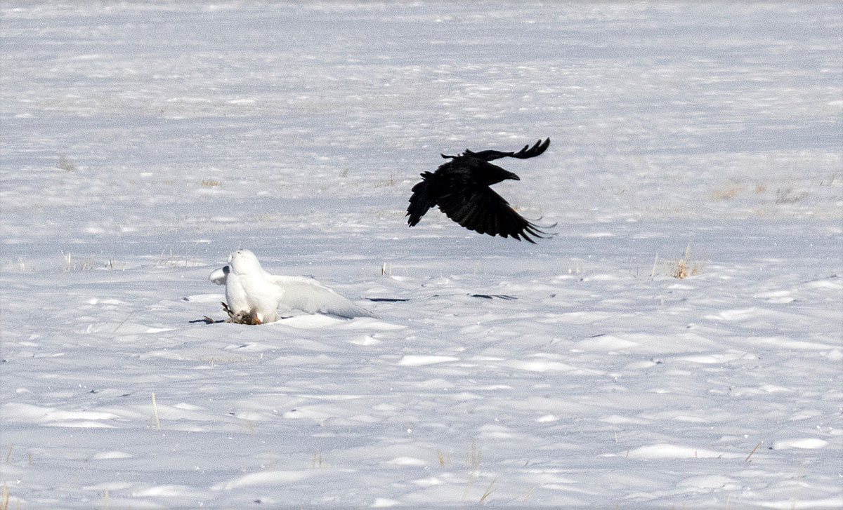 Raven attempting to steal food from a snowy owl