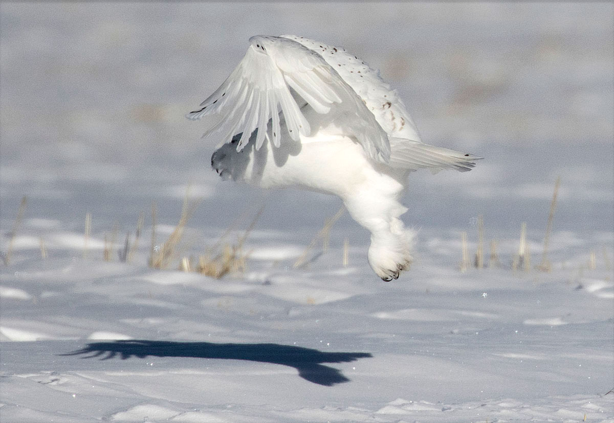 Snowy owl swooping in to catch a grouse