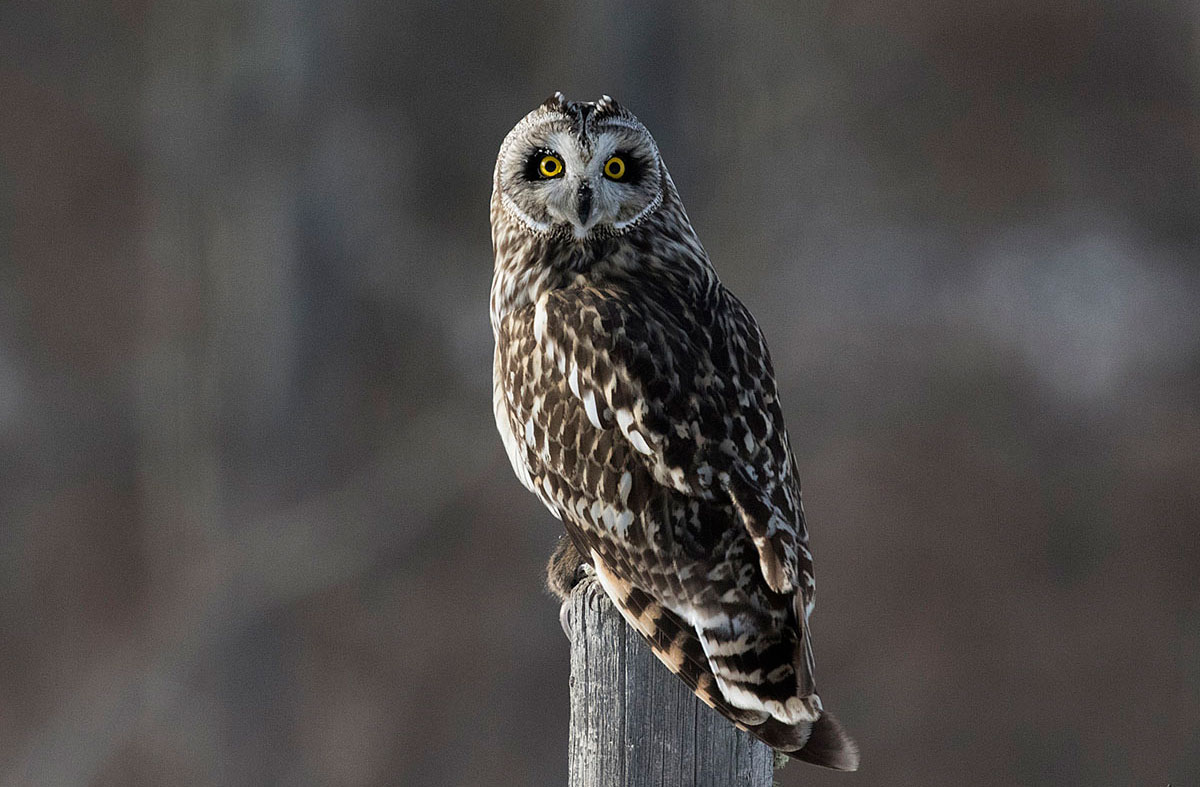 Short Eared Owl on fence post along Grande Valley Road