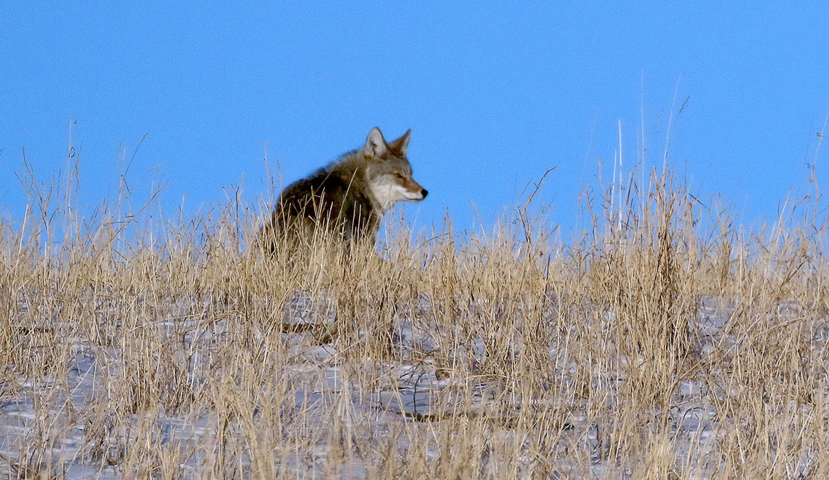 Coyote hunting in the field