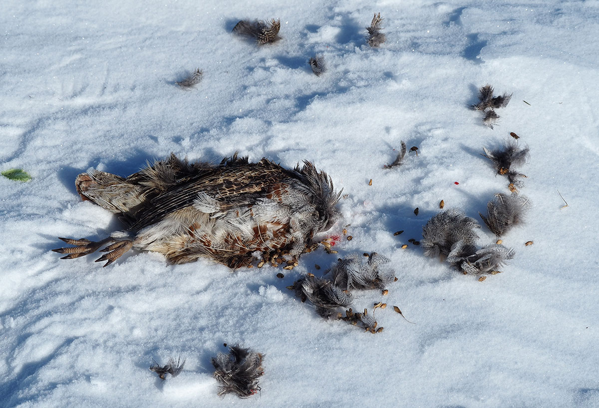 Hungarian Partridge (Grouse) and feathers after the Snowy Owl feasted on him