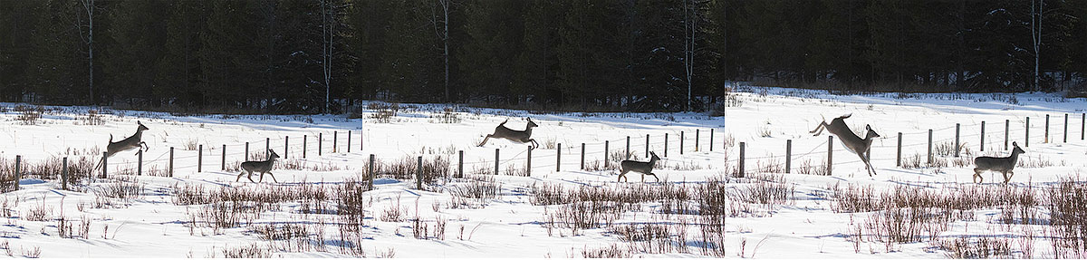 White tail deer jumping a barbed wire fence