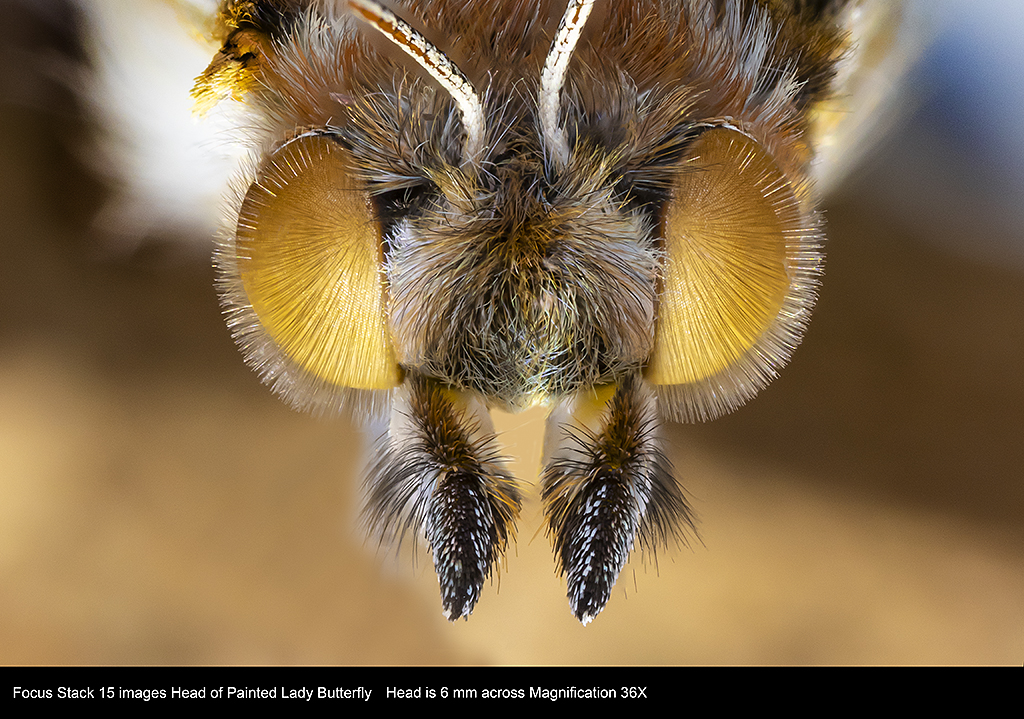 Painted Lady Butterfly - closeup of the head, stacked image by Robert Berdan ©