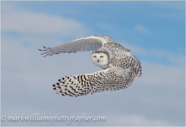 adult female snowy owl