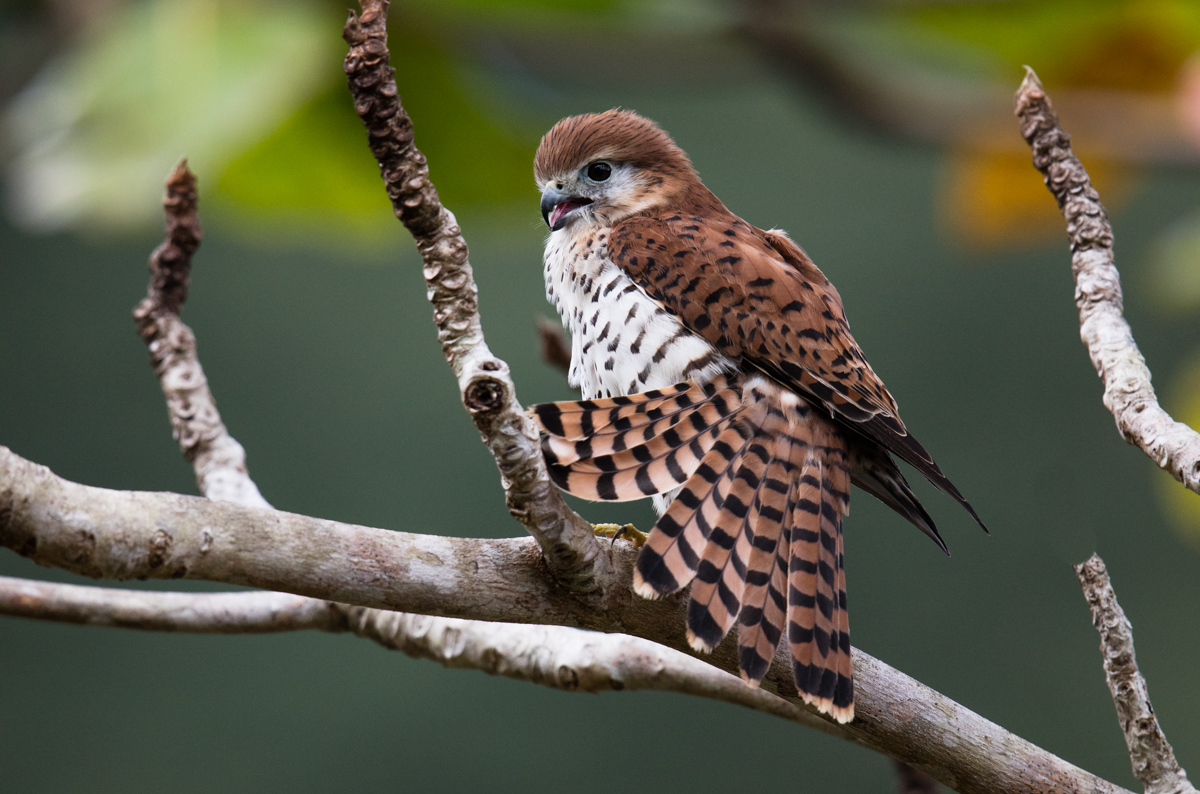 Kestral by Mark Williams ©