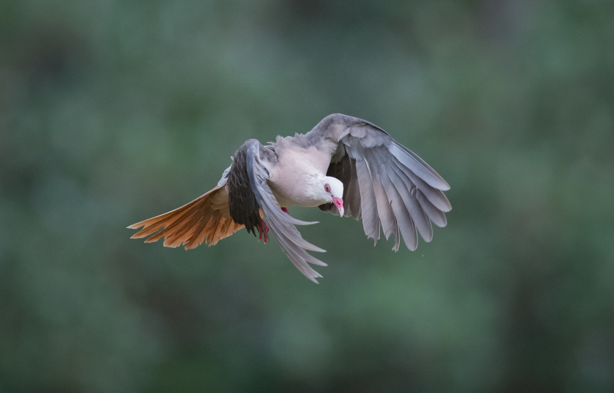 Pigeon in Flight by Mark Williams ©
