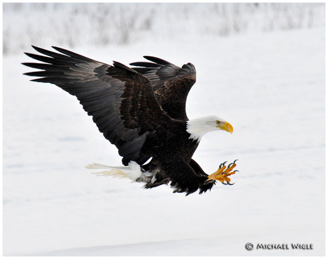 Eagle landing by Michael Wigle ©