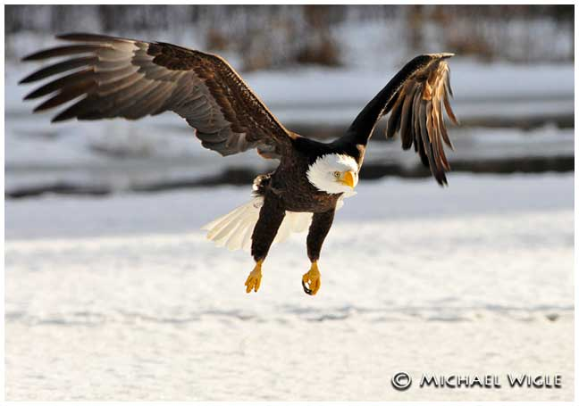 Eagle in flight by Michael Wigle ©
