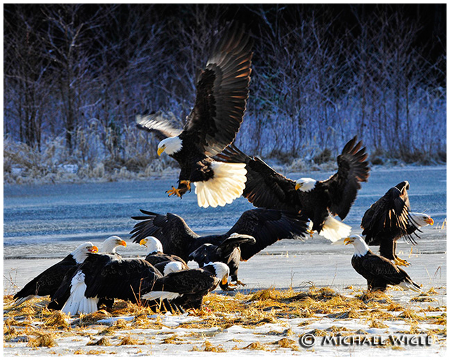 Eagles gathering for food by Michael Wigle ©