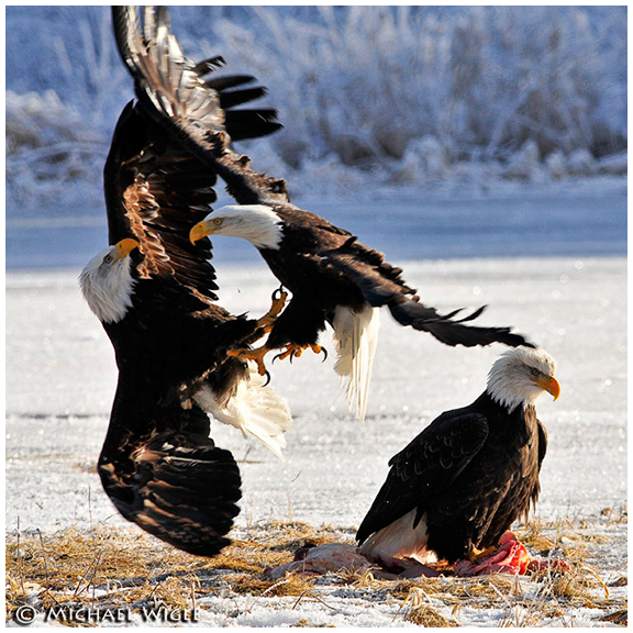 Eagles fighting over scraps by Michael Wigle ©
