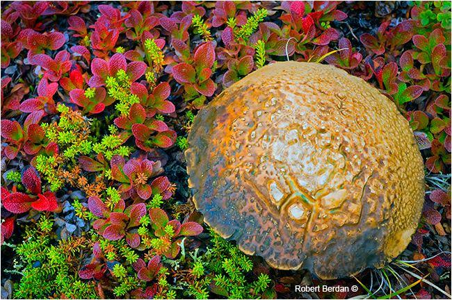Unidentified mushroom on the tundra noth of Yellowknife by Robert Berdan ©