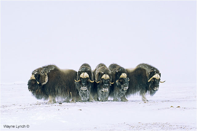 Musk Ox in defense formation by Dr. Wayne Lynch ©