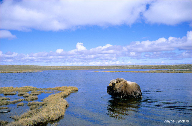 Muskox wading through water by Dr. Wayne Lynch ©