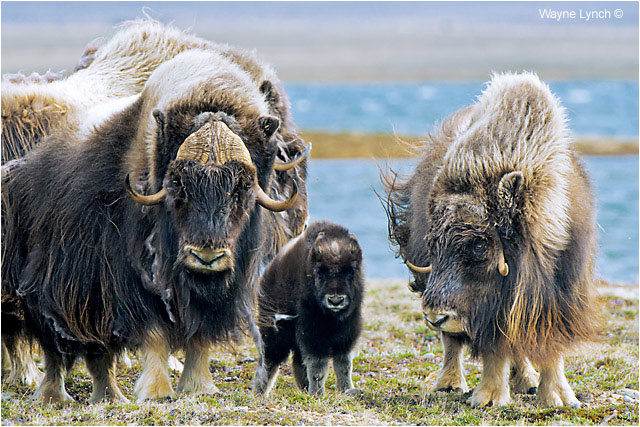 Muskoxen bull, cow and calf by Dr. Wayne Lynch ©