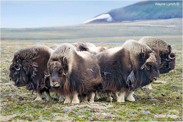 Muskoxen Hered - Defense Formation by Dr. Wayne Lynch ©