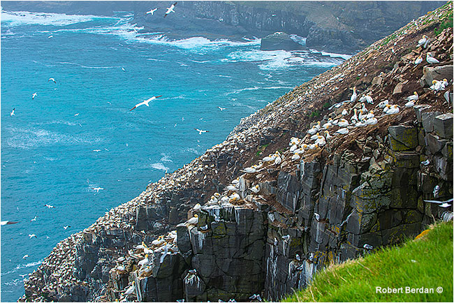 Northern Gannets cover the rocks at Cape St. Mary's by Robert Berdan ©