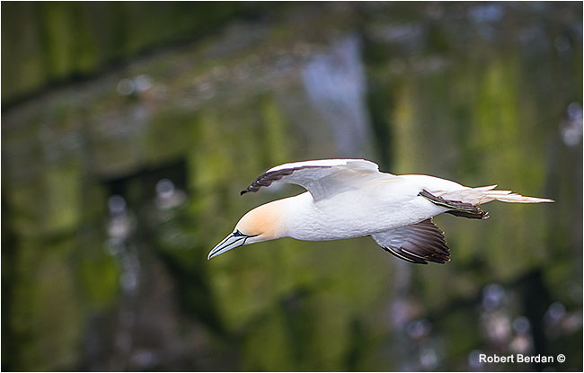 Northern Gannet in flight by Robert Berdan