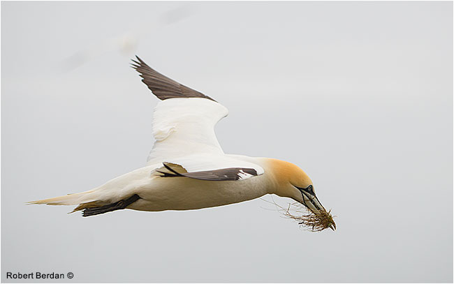 Northern Gannet in flight with grass by Robert Berdan ©