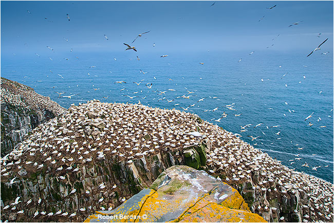 Bird Rock at Cape St. Mary's by Robert Berdan
