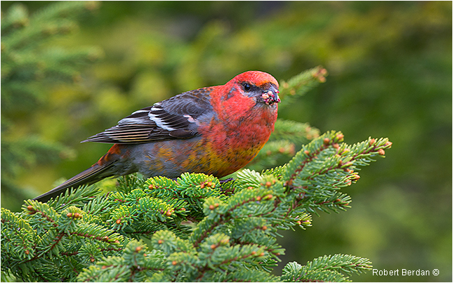 Pine Grosbeak Newfoundland by Robert Berdan ©