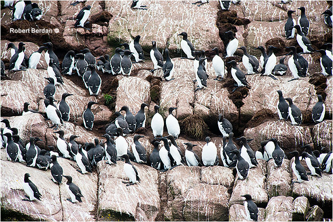 Common Murre Newfoundland by Robert Berdan ©