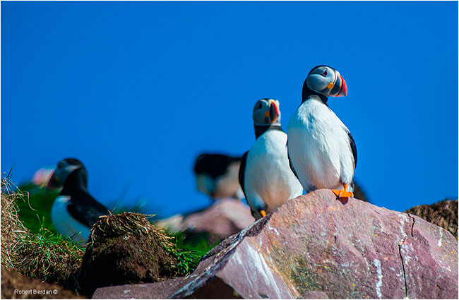 Atlantic Puffins by Robert Berdan ©