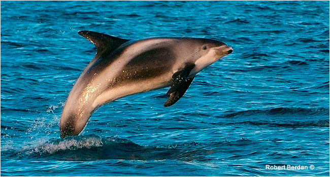 White-beaked dolphin by Robert Berdan ©