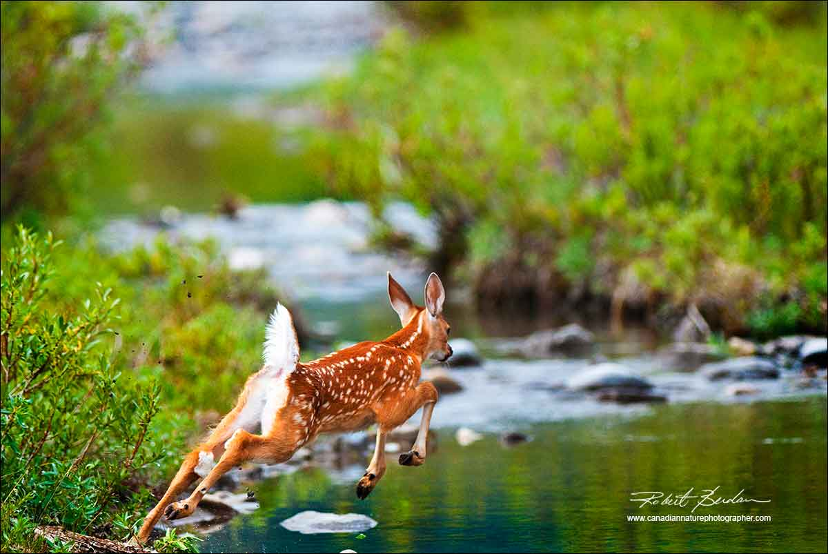 Frightened fawn in Kananaskis by Robert Berdan