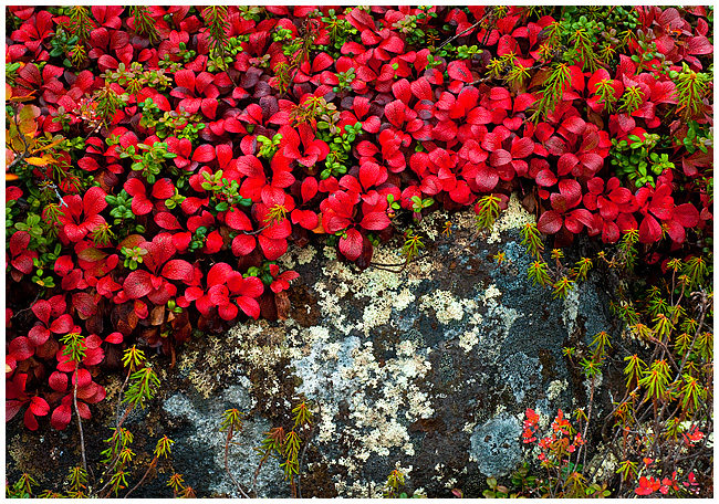 Bearberry leaves, lichen and rock by Robert Berdan ©