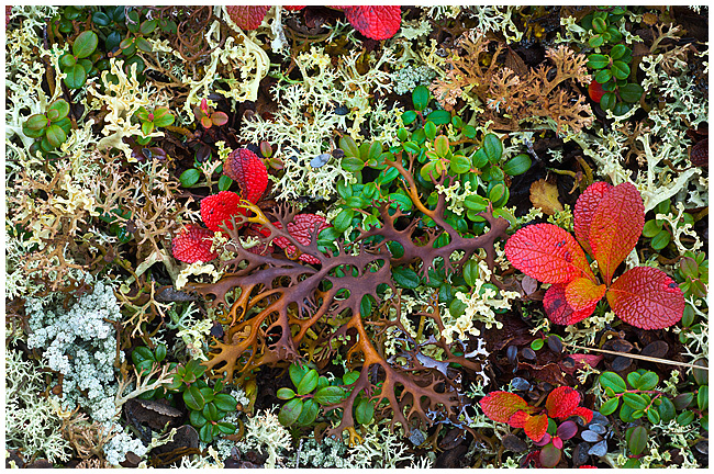 Caribou salad - mixture of lichens and moss by Robert Berdan ©