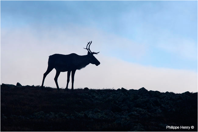 Gaspesie Caribou silhoutte on mount Jacques Cartier by Philippe Henry ©