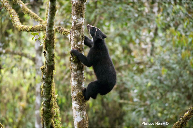 Wild Andean Bear by Philippe Henry ©