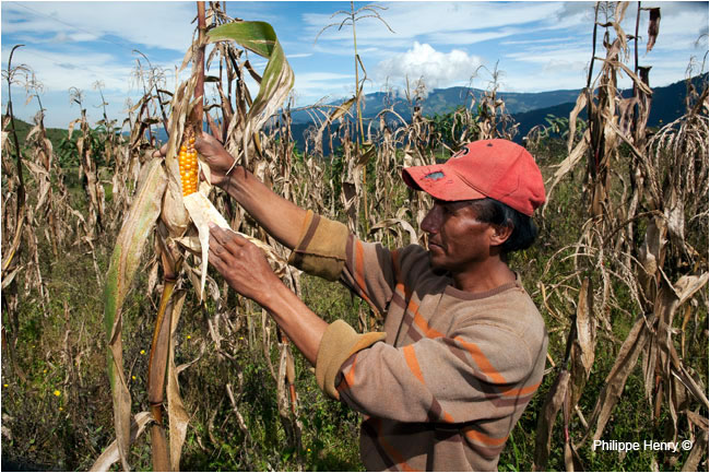Andean farmer checking corn by Philipper Henry ©