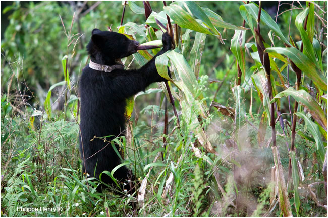 Andean bear eating corn by Philippe Henry ©