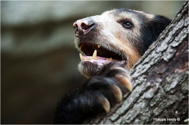 Captive Andean Bear by Philippe Henry ©