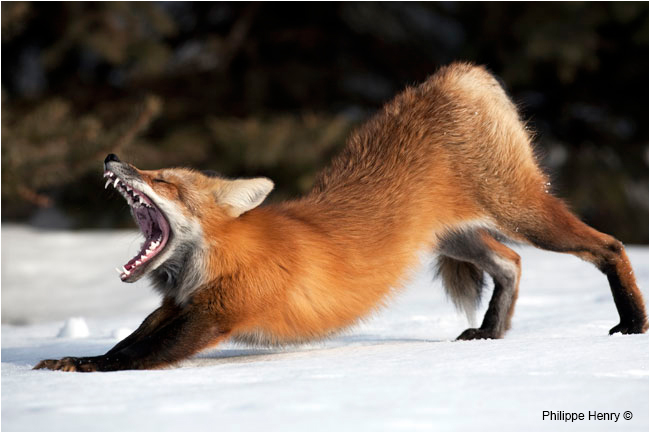 Red fox stretching by Philppe Henry ©