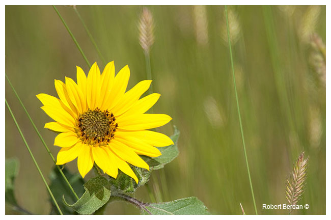 Annual Sunflower by Robert Berdan