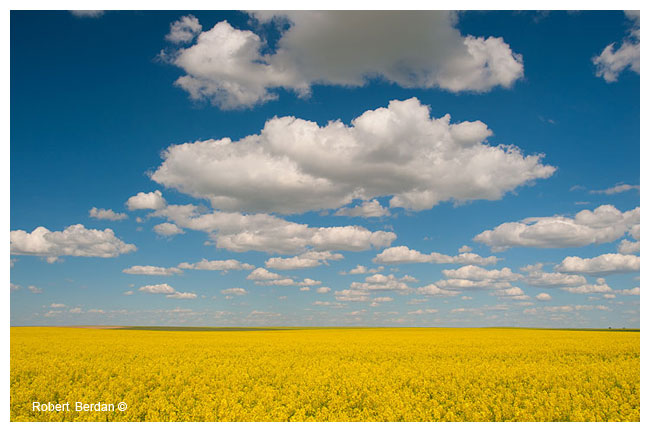 Canola Field by Robert Berdan